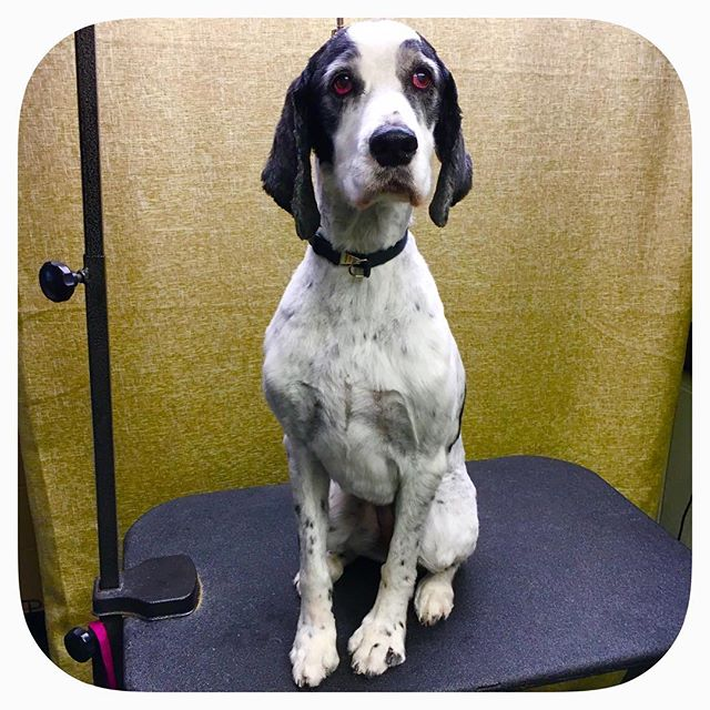Libby the English Springer #astrodoggrooming