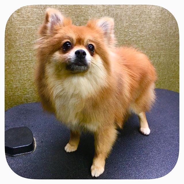 Coco is looking foxy! #astrodoggrooming