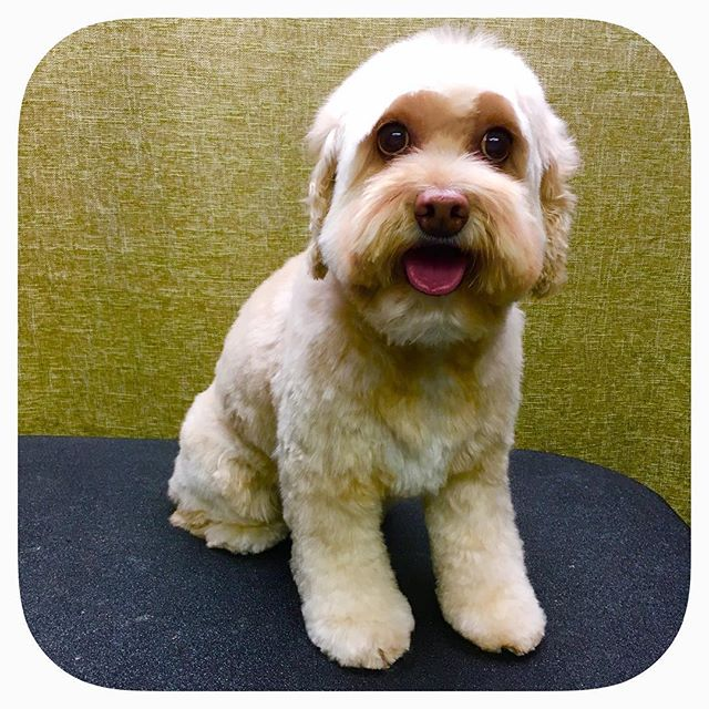 Pansey is a wonderful little cockapoo! #astrodoggrooming