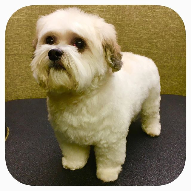 Abby is a Maltese and Shih tzu mixture! #astrodoggrooming