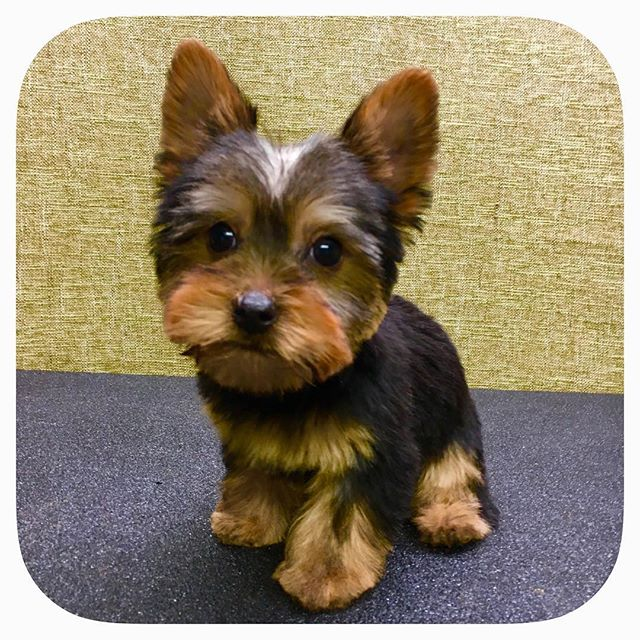 Fletcher is a twelve week old Yorkshire Terrier with his first grooming under his belt! #astrodoggrooming