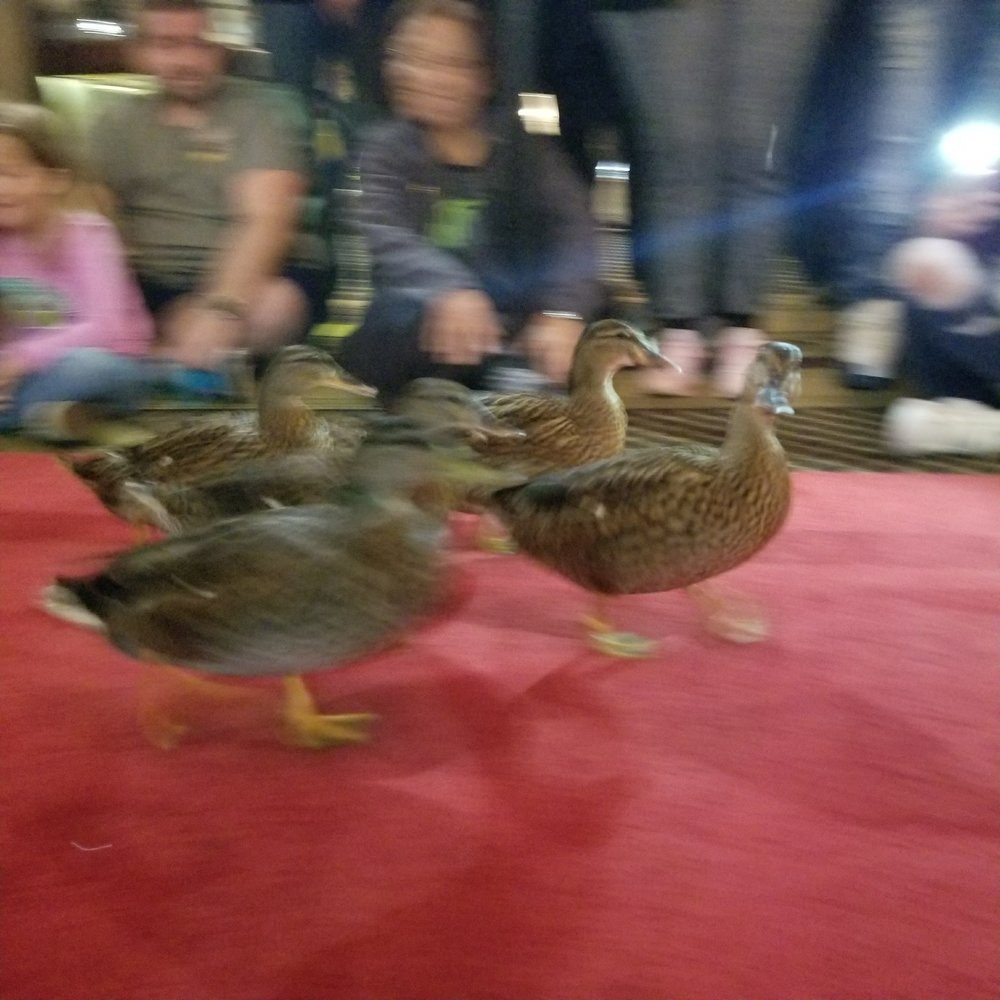 My not so great picture of the ducks. I think I need my photo creds revoked.