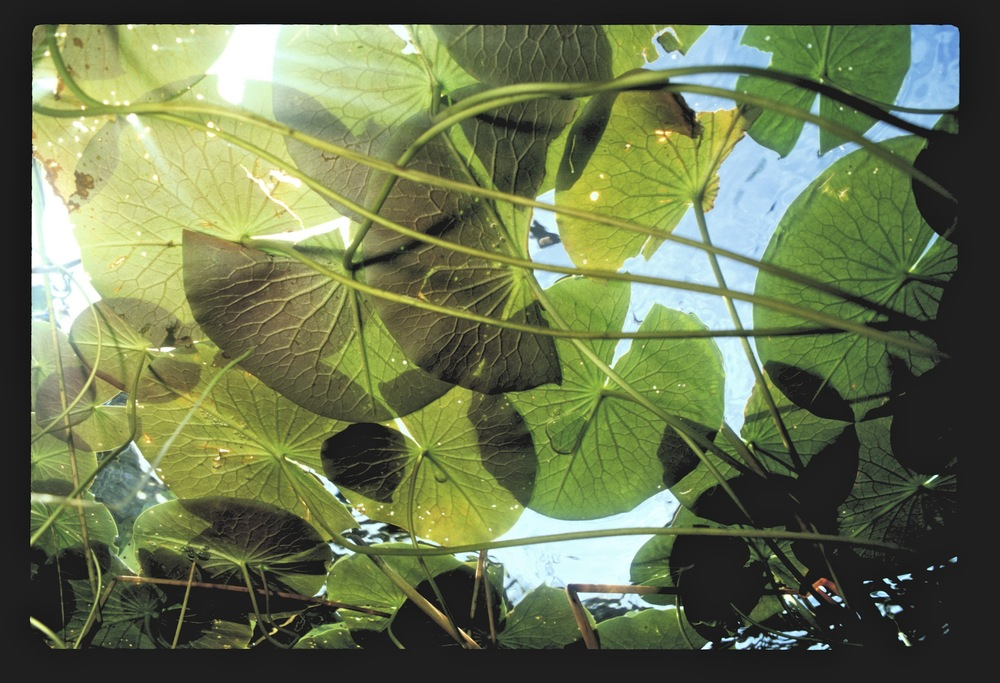 Lilypad canopy.jpg