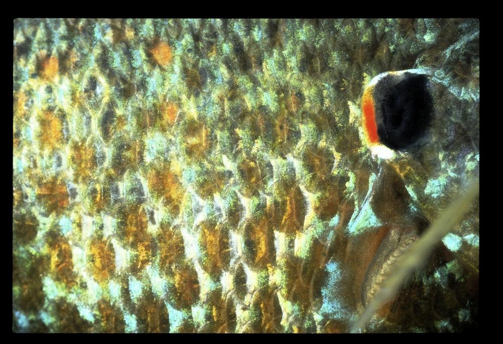 sunfish abstract.jpg