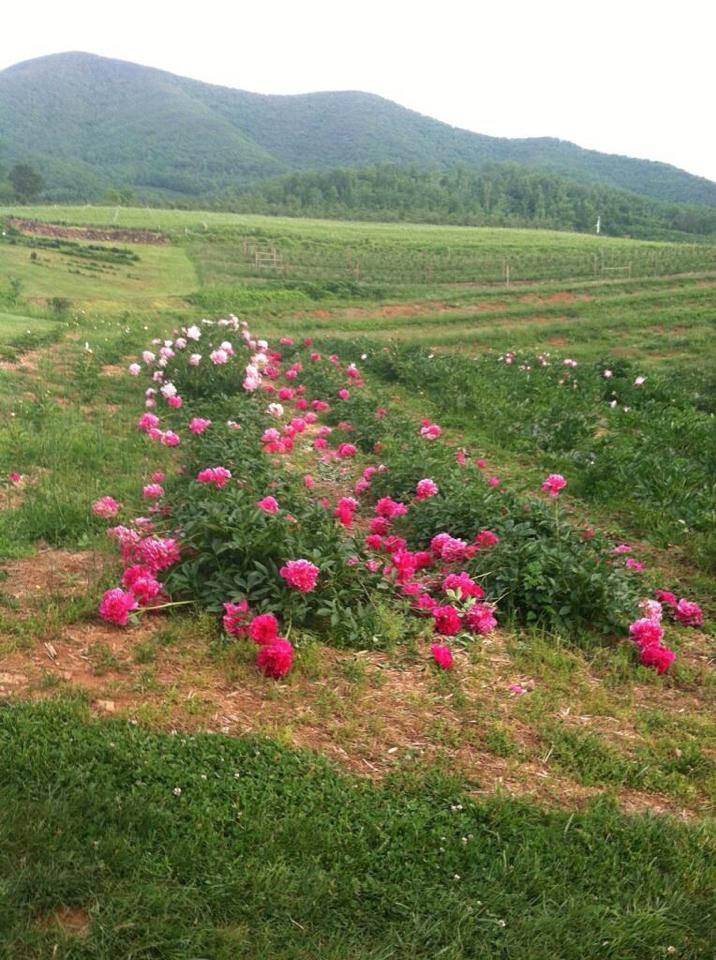 Pink Flowers with Mountain Background.jpg