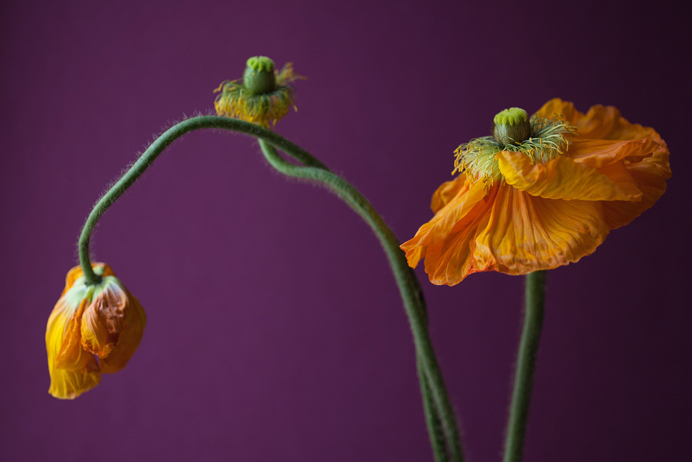 2 - Family of Poppies-0964.jpg