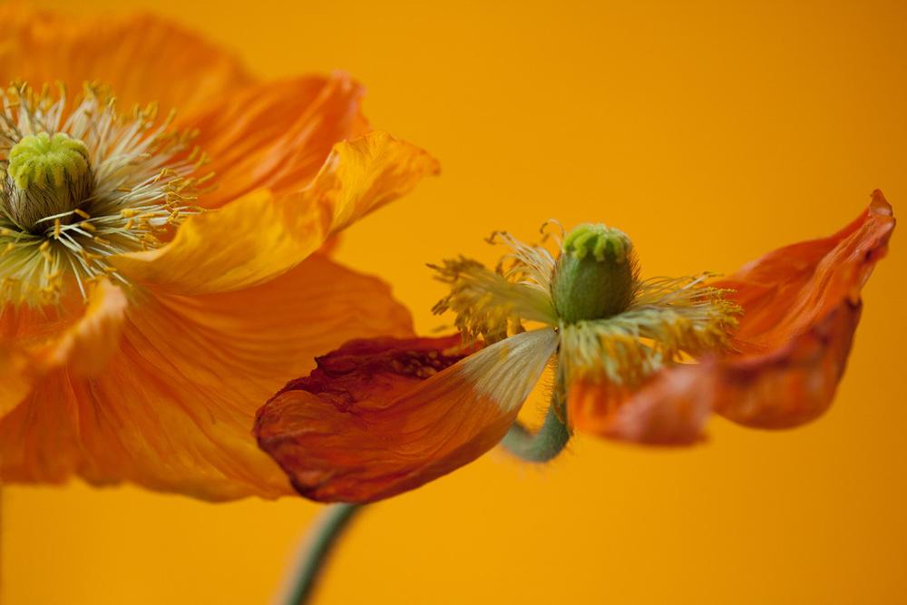 1 - Poppies-0915.jpg
