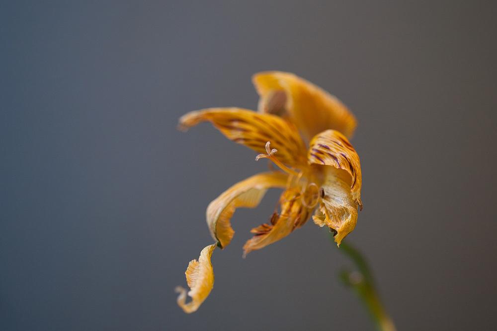 7 - Tiger Lily.jpg