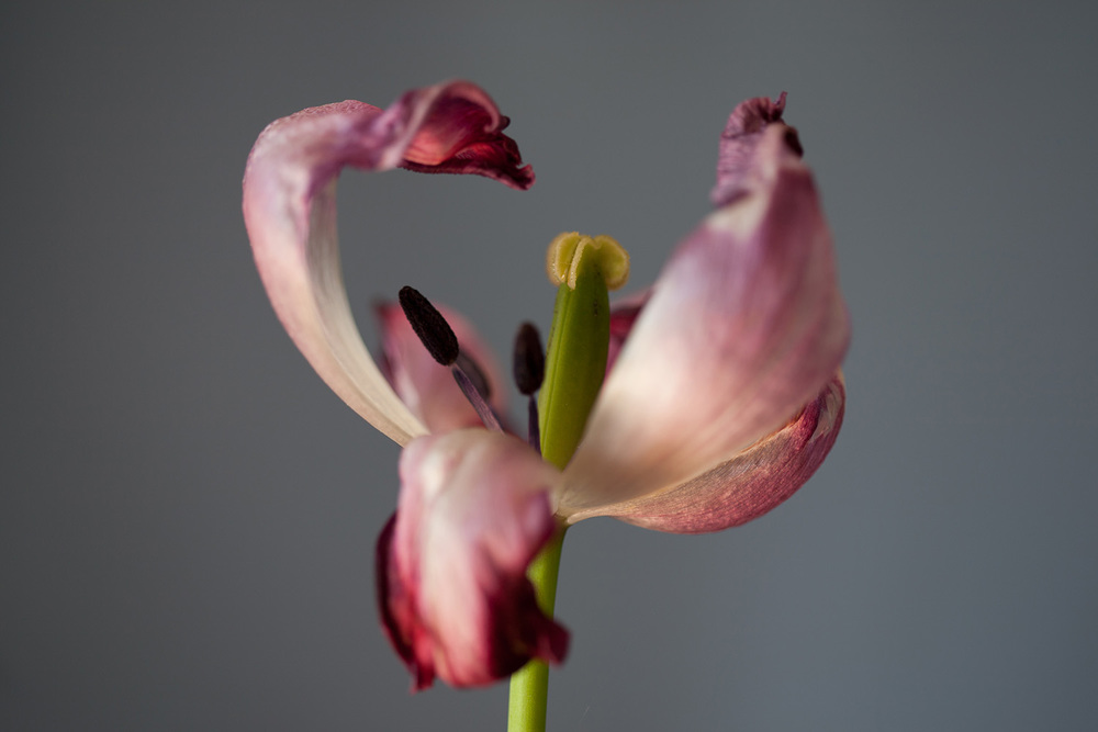 6 - Tulip1738.jpg