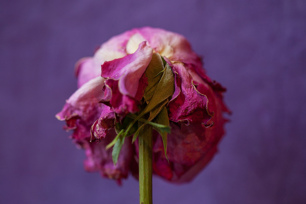 11 - Rose 0482.jpg