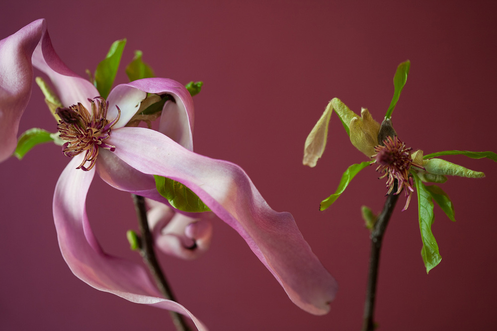 Magnolias two-1239.jpg