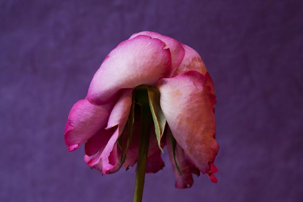 Roses-0465.jpg