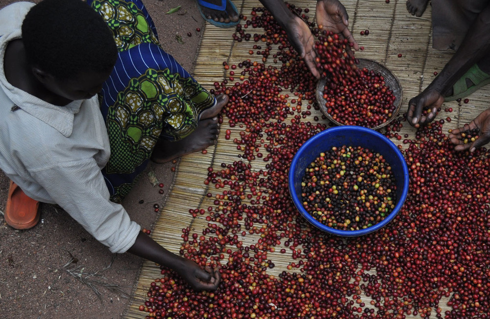 Every cherry is sorted by the families who grow the coffee to remove those that are over or under ripe.