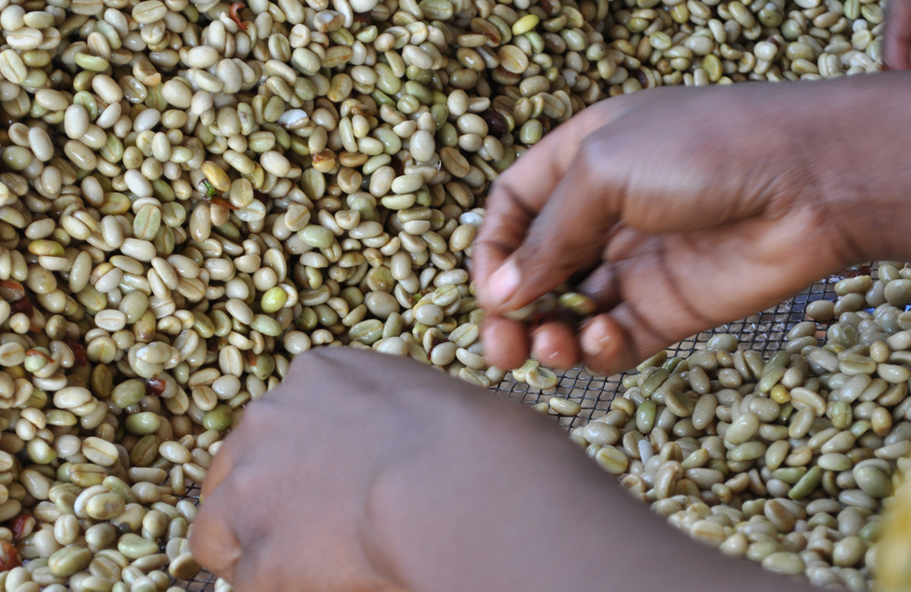 The beans are sorted to remove dis-coloured beans during the first part part of the drying process.