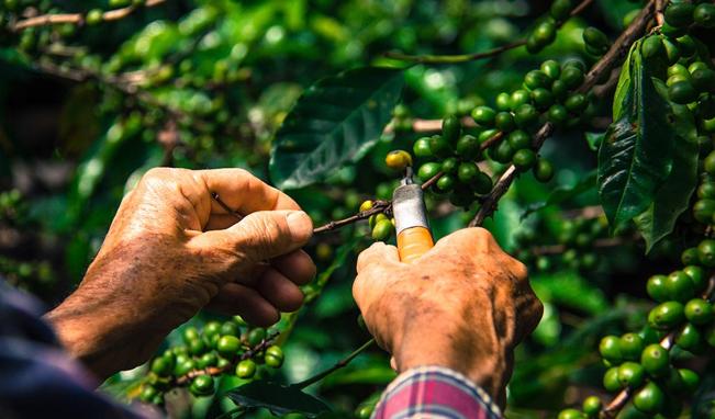 Tending to coffee plants  Source: Panama Varietals