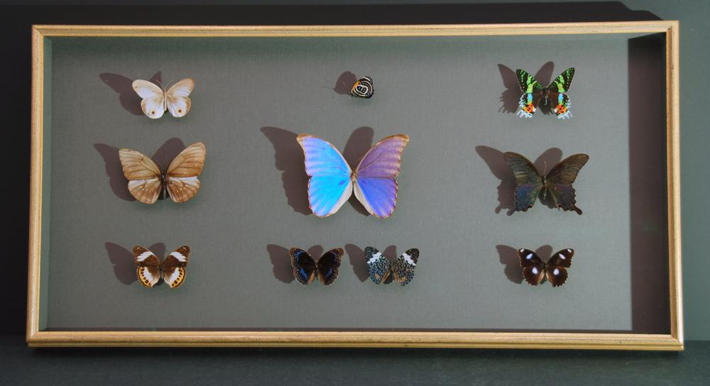 Butterfly specimens.jpg