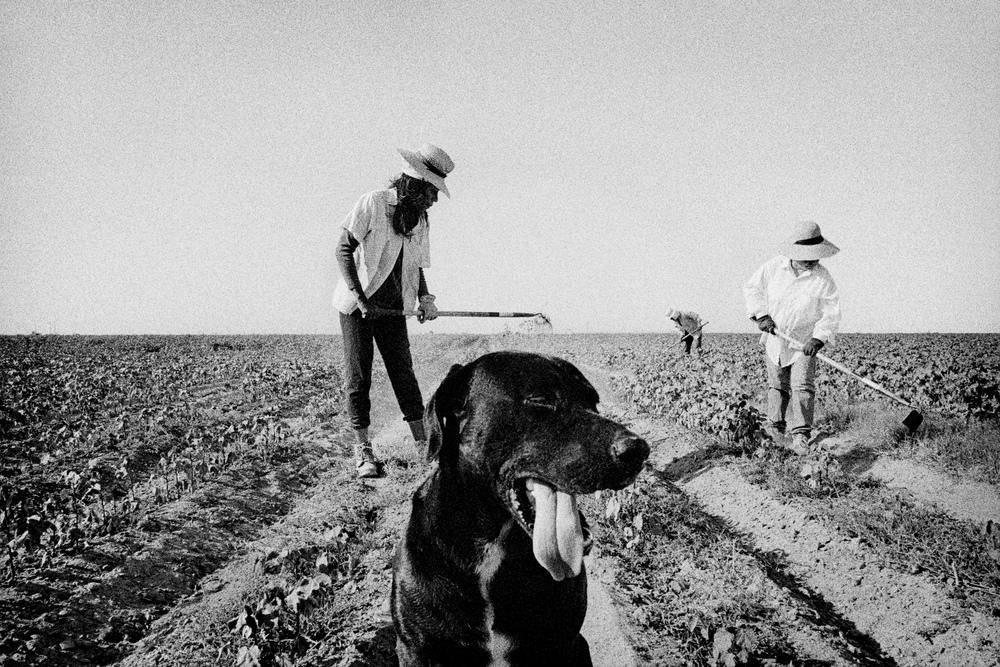 Weeding cotton