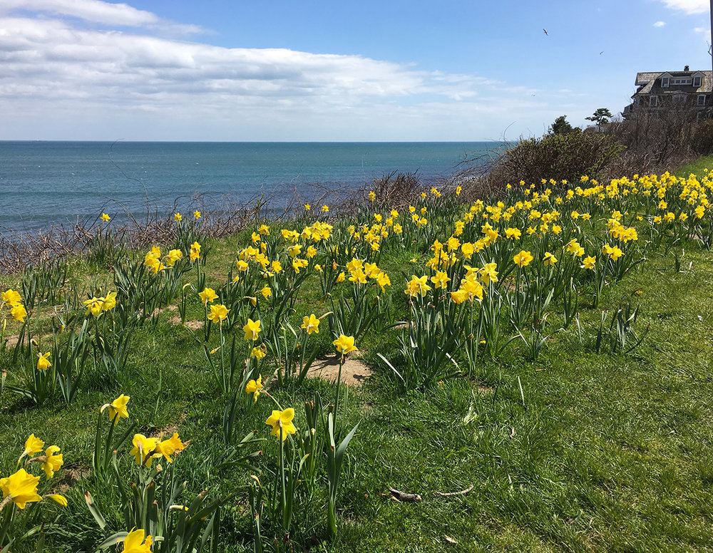 Cliff Walk Daffodils-Chanler Blog.jpg