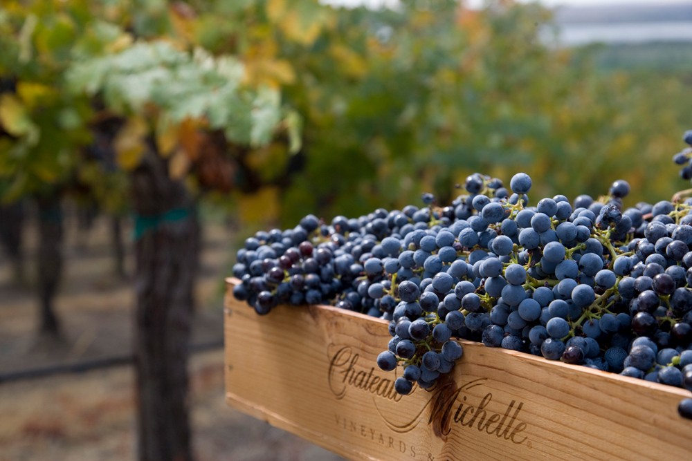Chateau Ste Michelle_Winery_Grapes.jpg