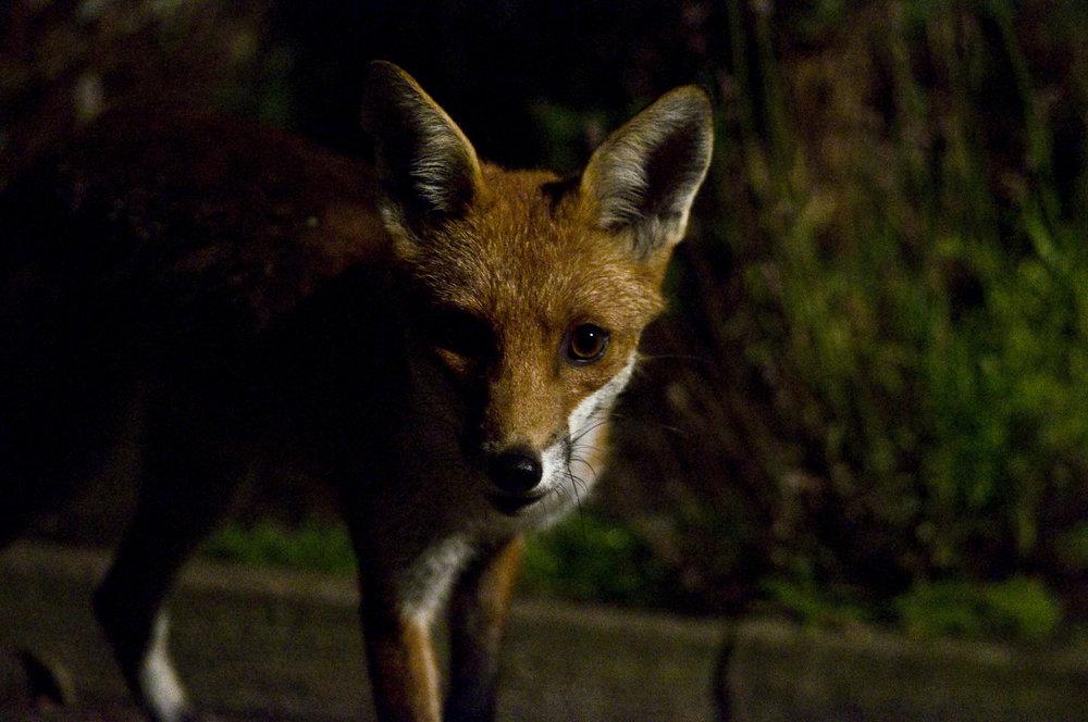 Fox at night, knowing things. (photo credit: edinburghwildlife.wordpress.com)