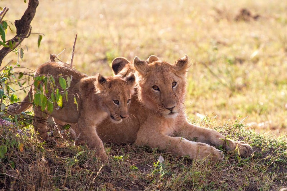 A lioness and her cubs in Maasai Mara National Park
