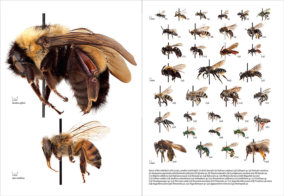 Layout spread from a Walrus story on the disappearance of bees.