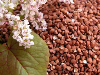 buckwheat-photo