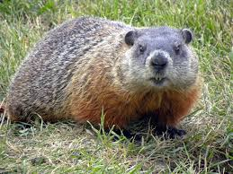 Here's a woodchuck/marmot/groundhog. You can read more about them  HERE .