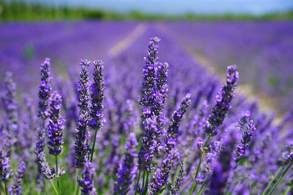 Exploring: The Lavenders