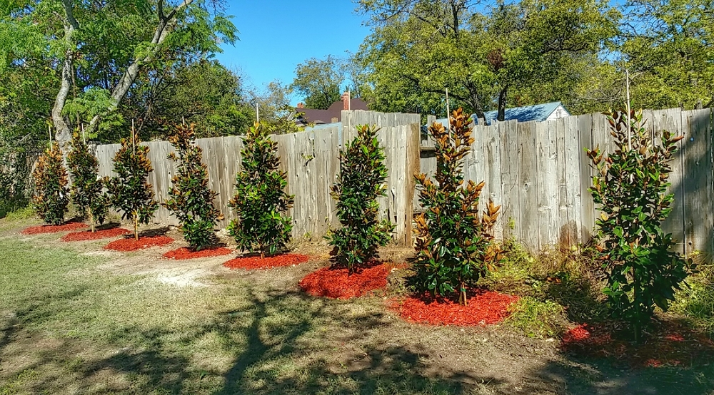This customer was overjoyed upon completion of her Little Gem Magnolia tree hedge.