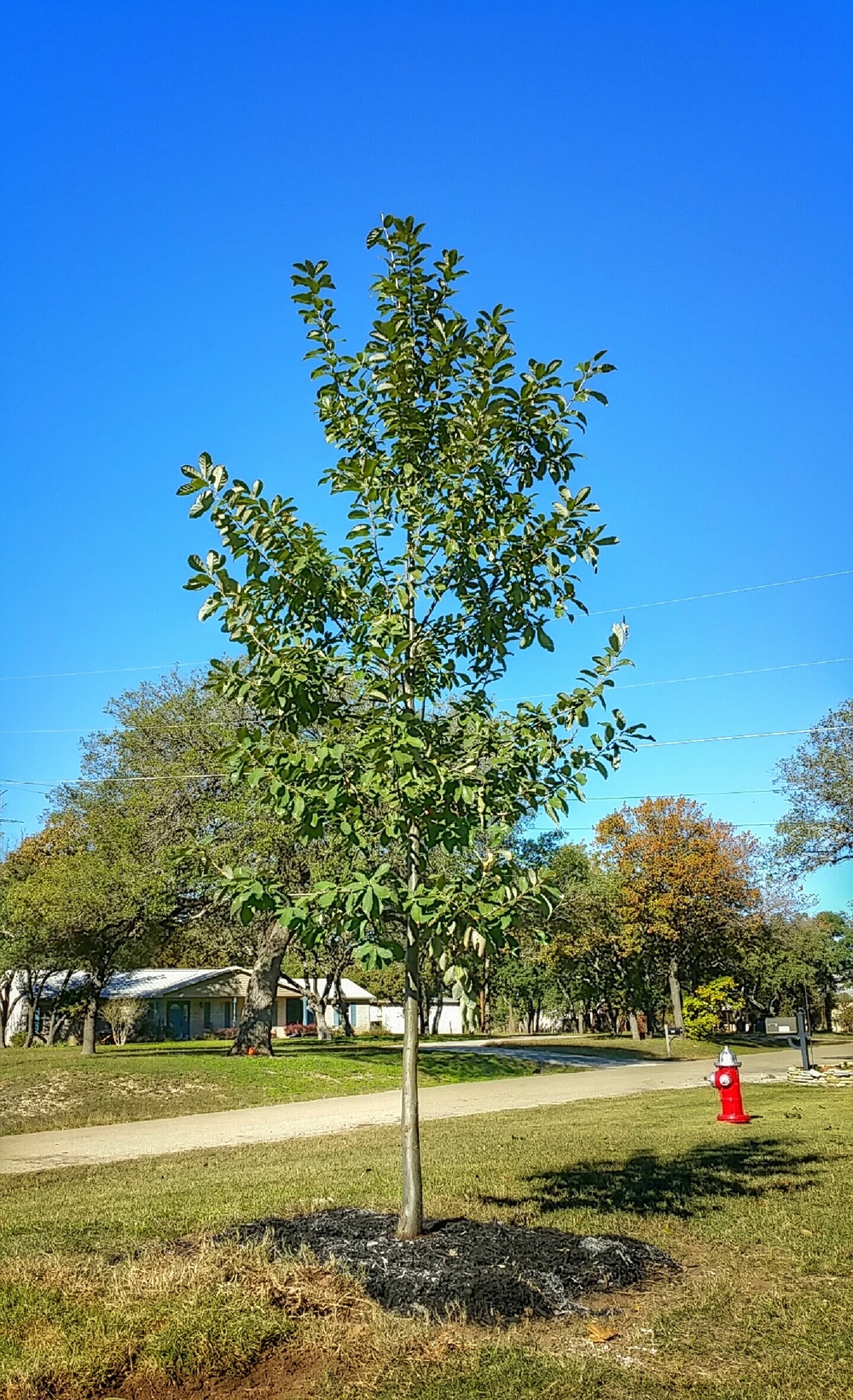 This Mexican White Oak (Monterrey Oak) is a fine example of the average tree selected and planted by our arborists. We generally plant 13'-20' tall trees to add instant attraction where it may have been lost.