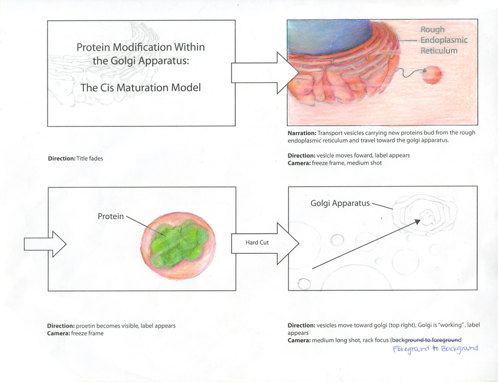 Protein Modification in the Golgi Apparatus Storyboard (1 of 3)