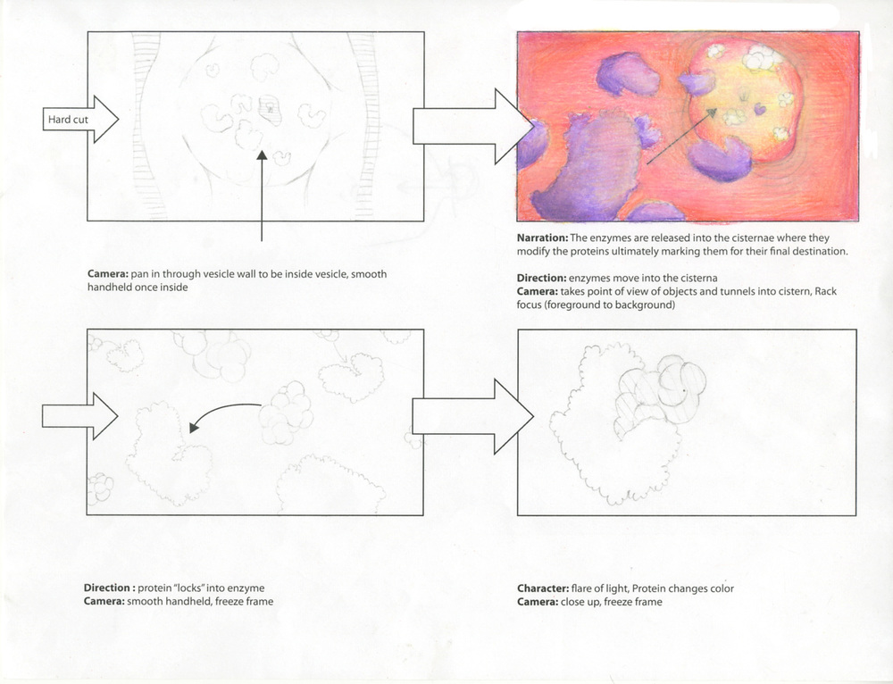 Protein Modification in the Golgi Apparatus Storyboard (2 of 3)