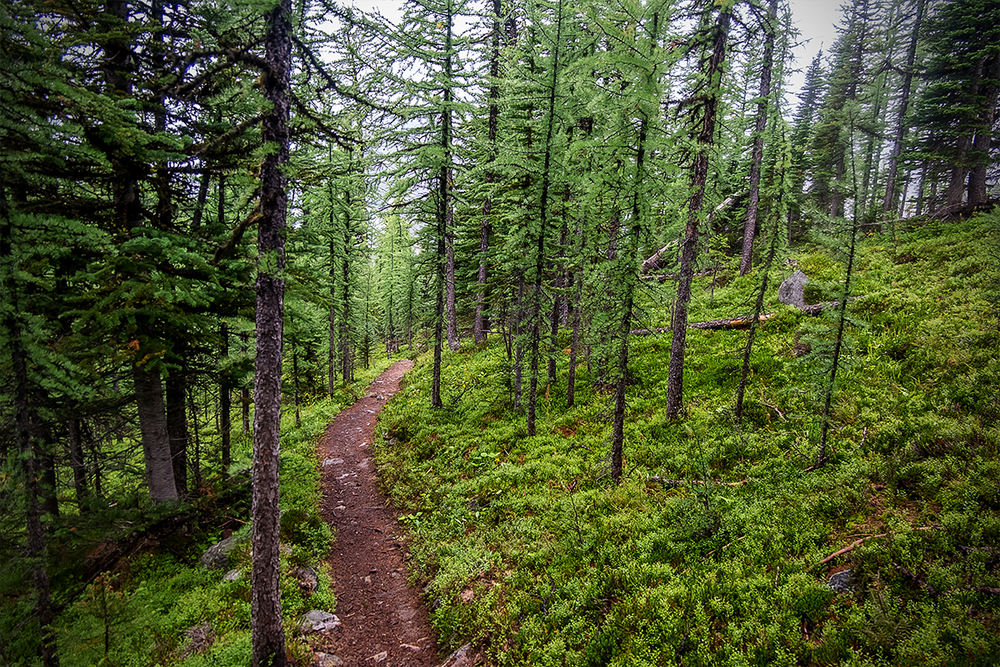 The trail winds through a beautiful Larch forest. I look forward to doing this hike in the fall when all the larch have turned a vibrant yellow.