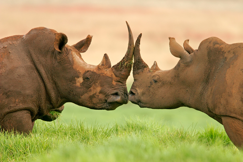 White+Rhino+kiss.jpg