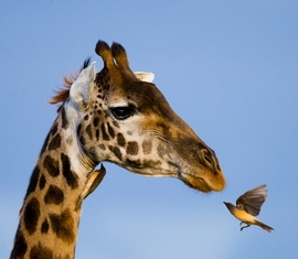 Giraffe+and+bird.jpg
