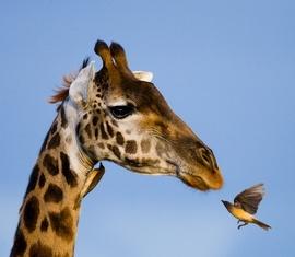 Giraffe+and+bird.jpg