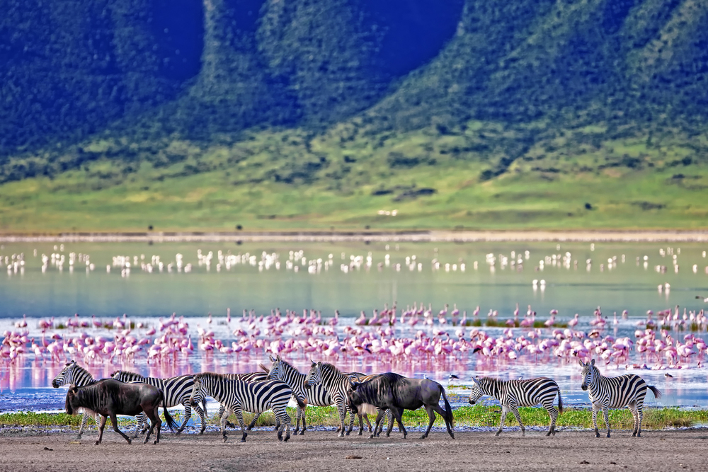 Zebras & wildebeest with flamingos in background in Ngorongoro.jpg
