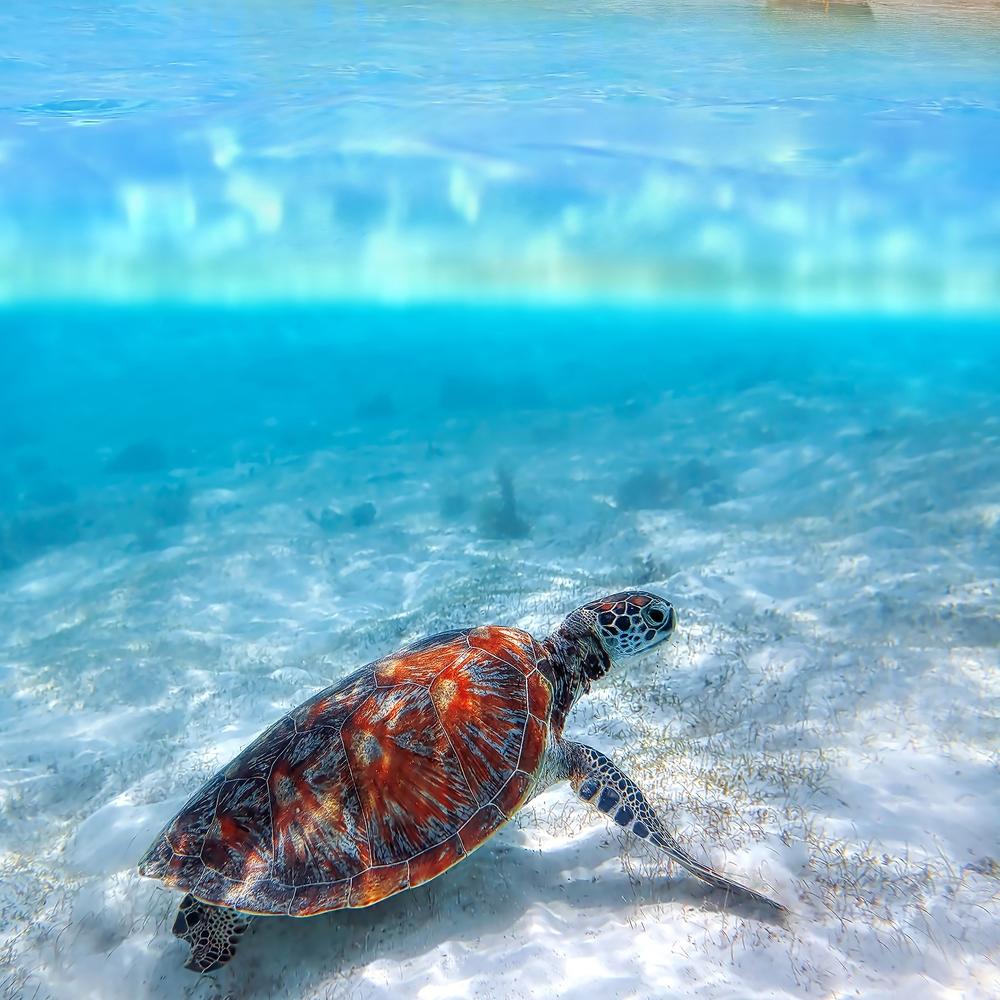 Zanzibar - colorful sea turtle near white sand beach.jpg