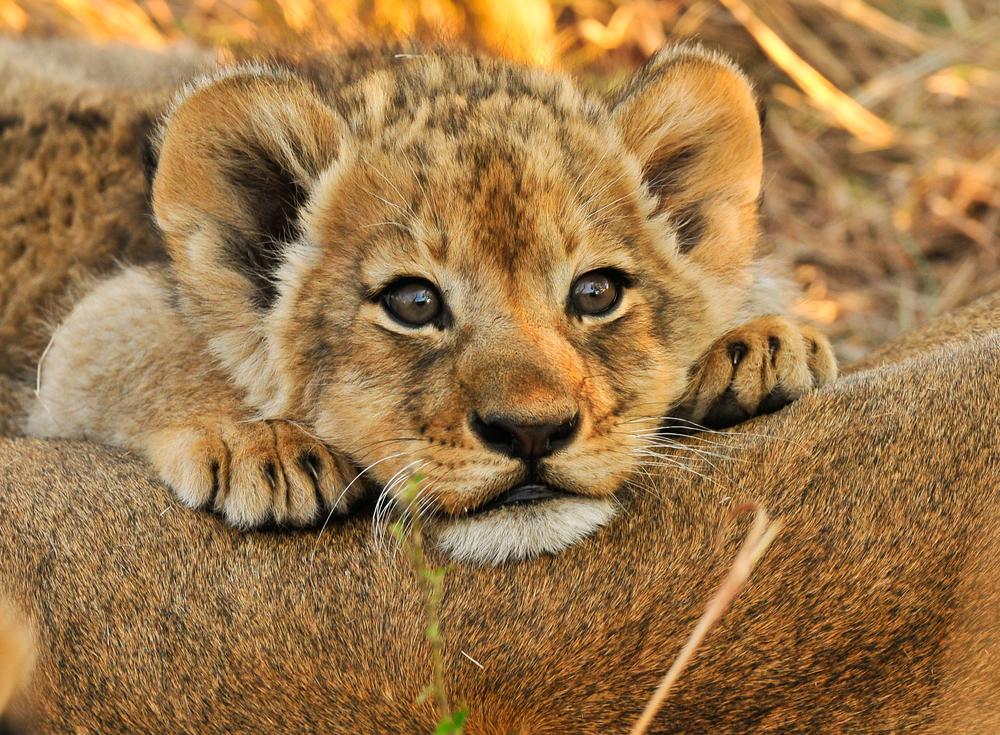 Lion Cub copy.jpg