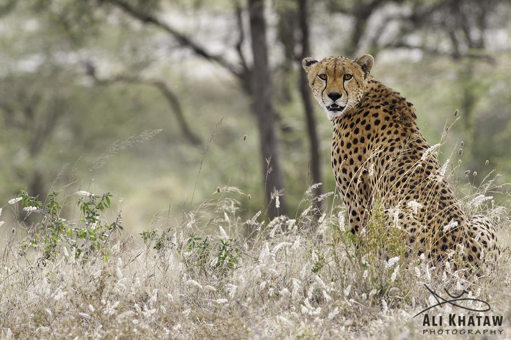 Cheetah - Tanzania - ARK.jpg