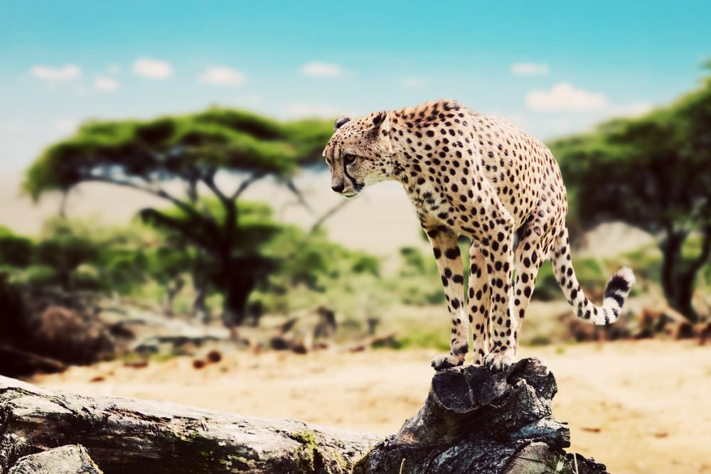 Serengeti - cheetah balancing on narrow rock.jpg