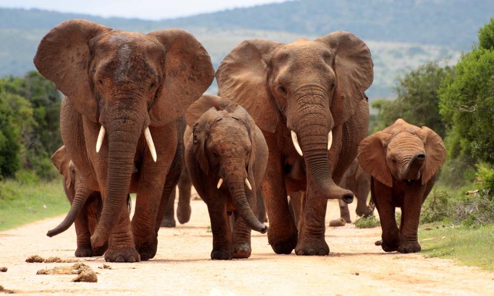 Elephant herd walking towards us on road.jpg