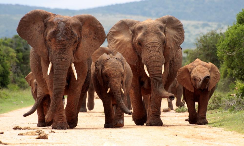 Elephant herd walking towards us on road.jpg