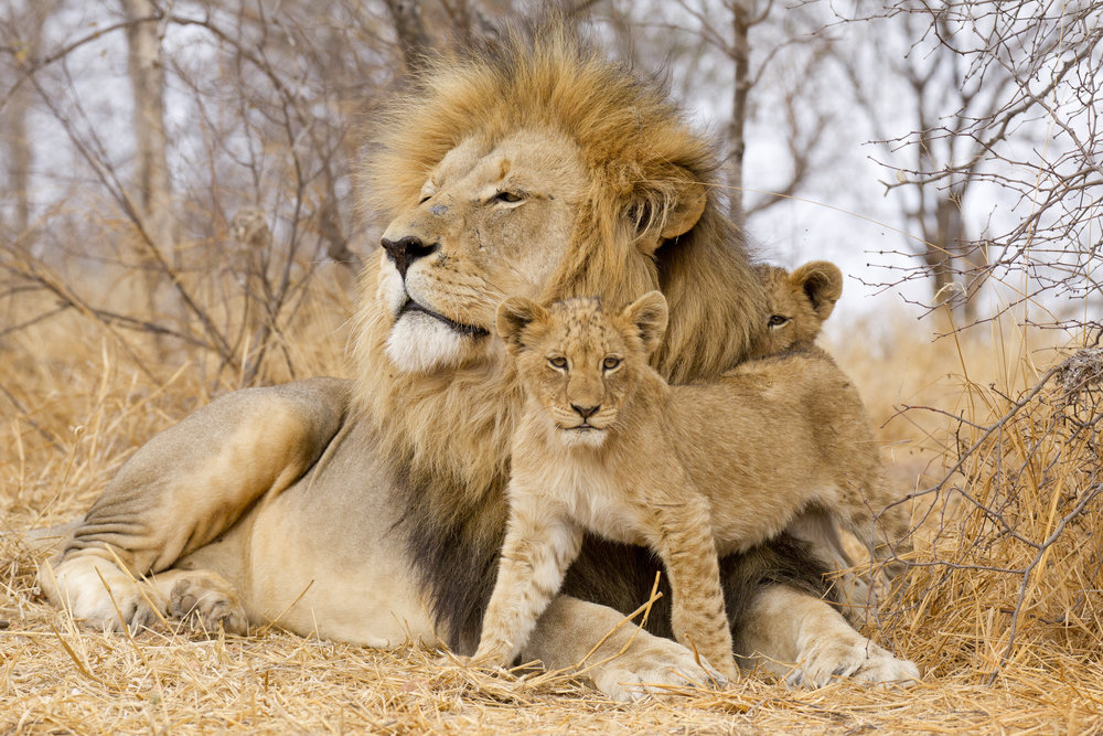 Male lion and cubs.jpg