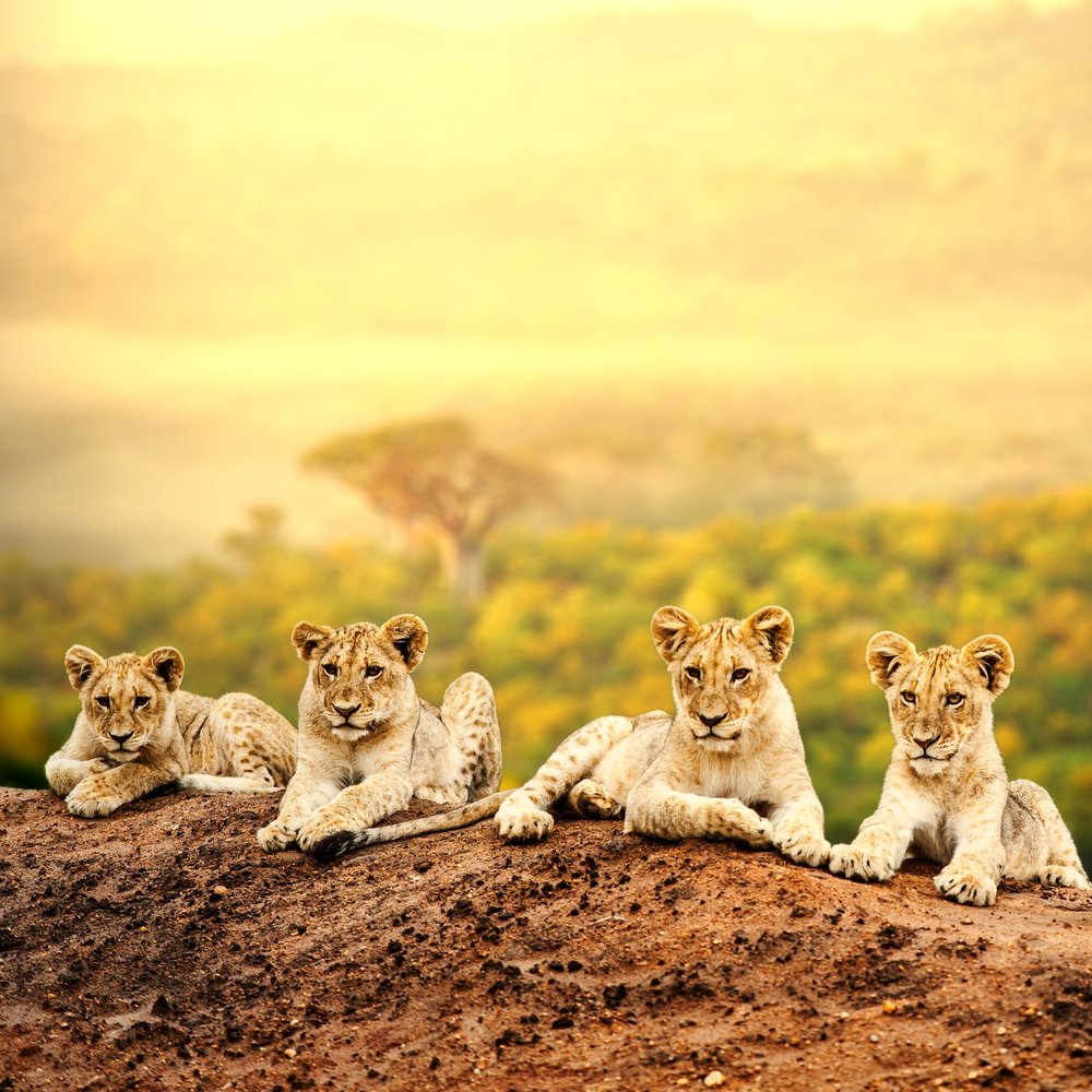 Lion cubs on a kopje.jpg