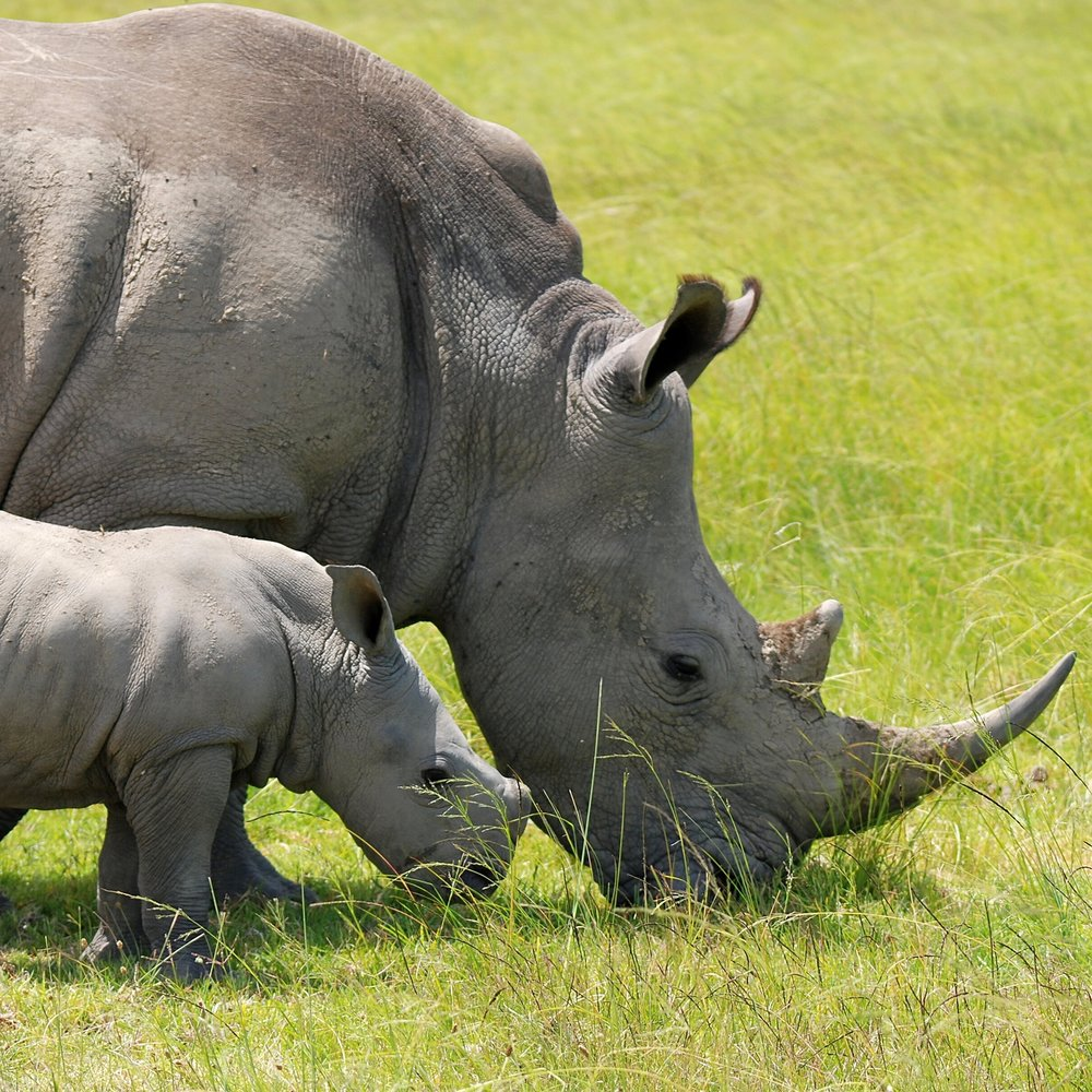 Rhino calf & mother.jpg