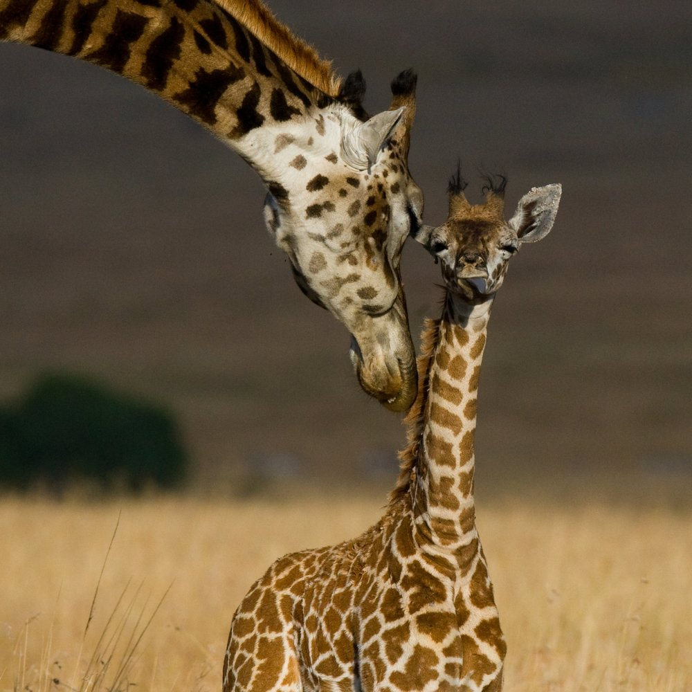 Giraffe with baby copy.jpg