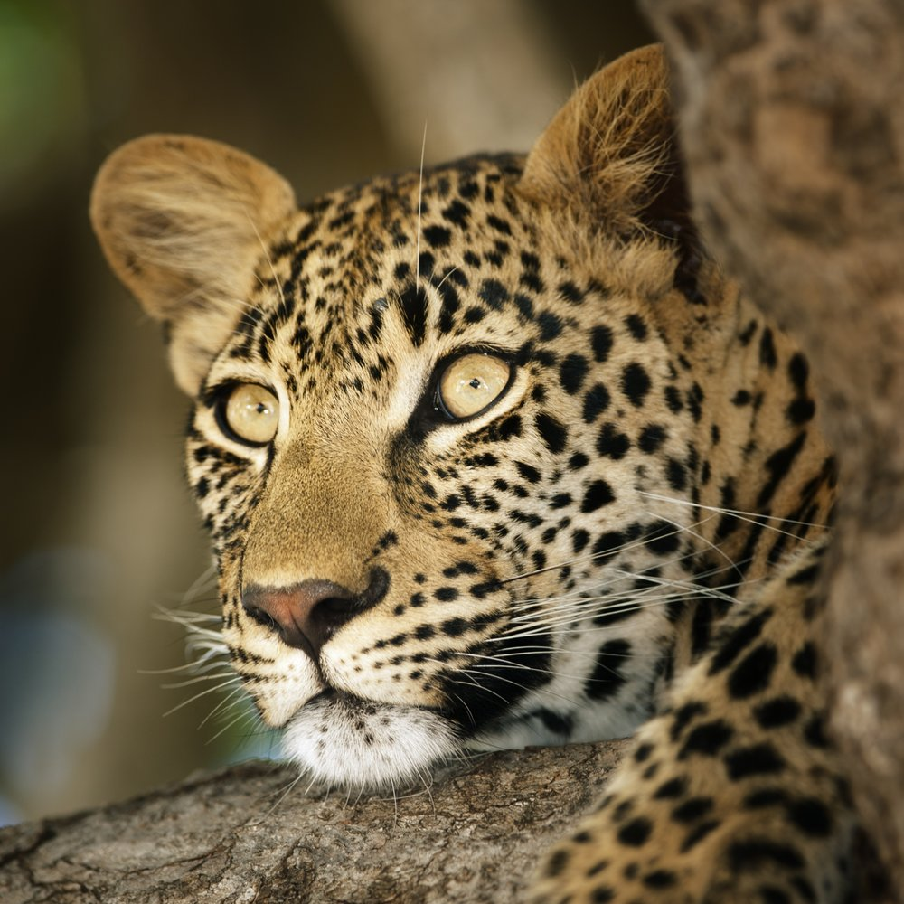 Leopard close up.jpg