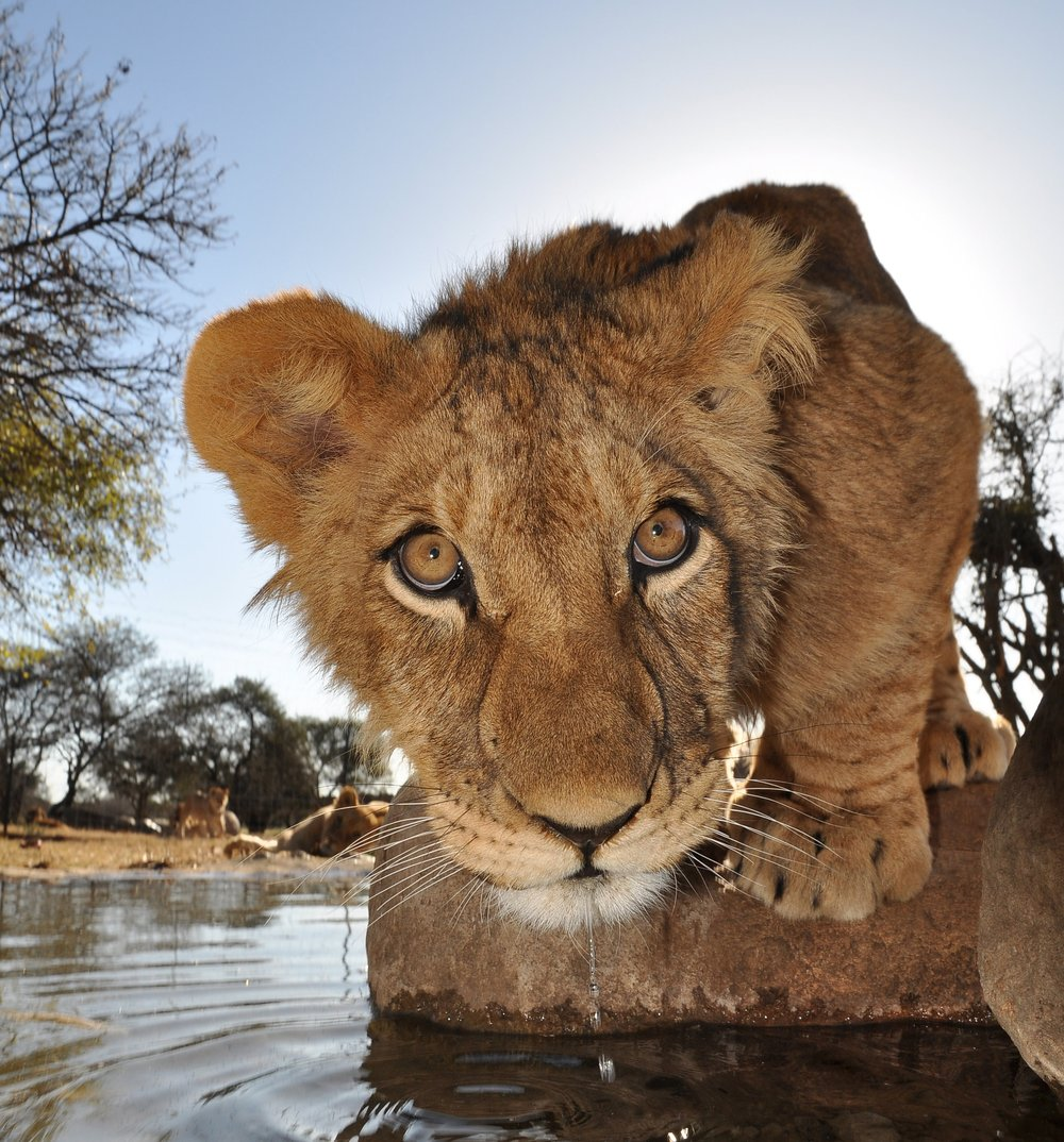 Lion cub water hole close up.jpg